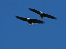 Bald eagle pair at Moraine (photo by Chuck Tague)