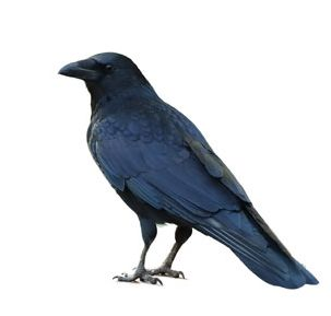 This is a Common Raven, not a Crow, but he looks so cool (stock photo)