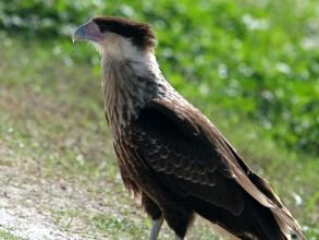 Immature Crested Caracara (photo by Chuck Tague)