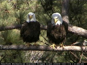 Bald Eagle pair from Norfolk Botanical Garden (click here to see the Eagle Cam)