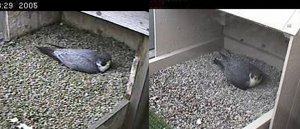 Erie vs E2 on nest, Peregrines at Univ of Pittsburgh