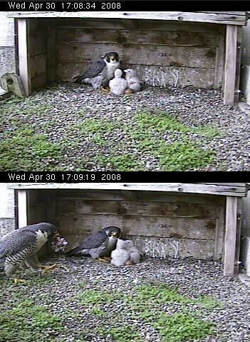 Peregrine Falcons Tasha2 and chicks watch as Louie brings food, Gulf Tower, Pittsburgh, April 30, 2008