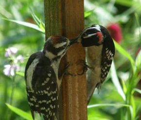 Downy Woodpeckers: juvenile male with father (photo by Marcy Cunkleman)