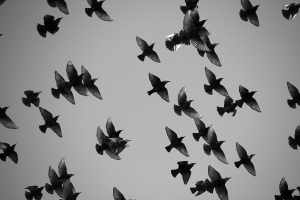Starling flock in black and white (photo by Mr. T in DC, via Flickr, Creative Commons license)