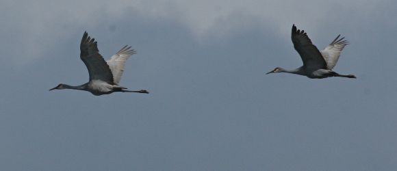Sandhill Cranes in flight (photo by Chuck Tague)