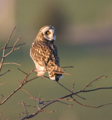 Short-eared Owl (photo by Cris Hamilton)