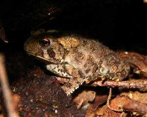 American Toad (photo