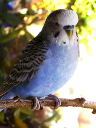 Blue Budgerigar (photo from Wikipedia Commons)