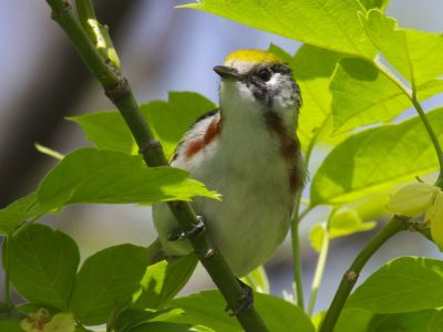 Chestnut-sided Warbler, female (photo by Chuck Tague)
