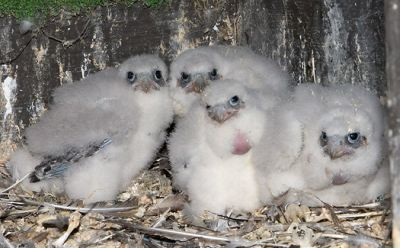 Peregrine chicks in Wilmington, Delaware, 18 May 2009 (photo by Kim Steininger)