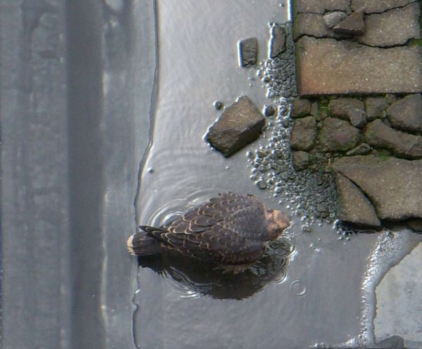 Juvenile peregrine in a puddle on the roof (photo by Kimberly Thomas)