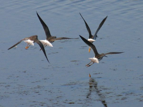 Lesser Yellowlegs in flight (photo by Chuck Tague)