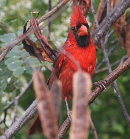 Male Northern Cardinal (photo by Chuck Tague)