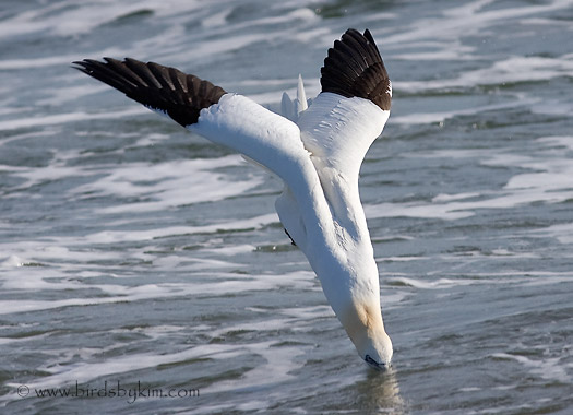 Northern Gannet diving for fish (photo by Kim Steininger)