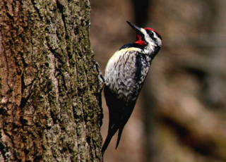 Yellow-bellied Sapsucker (photo by Chuck Tague)