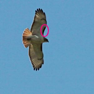 Patagial mark on Red-tailed hawk (phto by Chuck Tague)