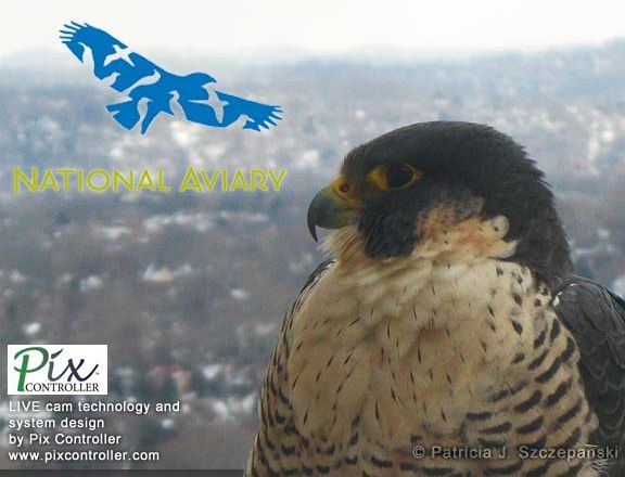 Falconcam splash screen (from the National Aviary and Wildearth.tv)