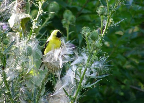 American goldfinch on thistle (photo by Marcy Cunkelman)