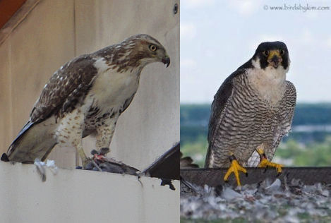 comparison of hawk and falcon Even at a distance or in poor light, there are clues available to help you identify  the eagles, hawks, owls, vultures and falcons, you might see in illinois try to.
