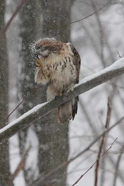 Red-tailed hawk makes the snow fly (photo by Gregory Diskin)