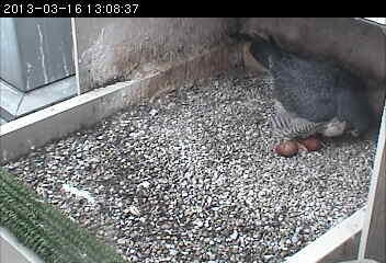 Dorothy with her 2nd egg, 16 Mar 2013 (photo from the National Aviary falconcam at Pitt)
