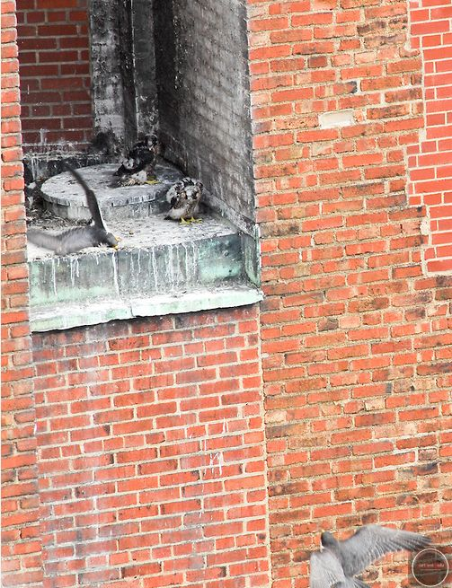 Downtown peregrines, parents trade places, chicks watch (photo by Christopher Rolinson, StartPoint Media)