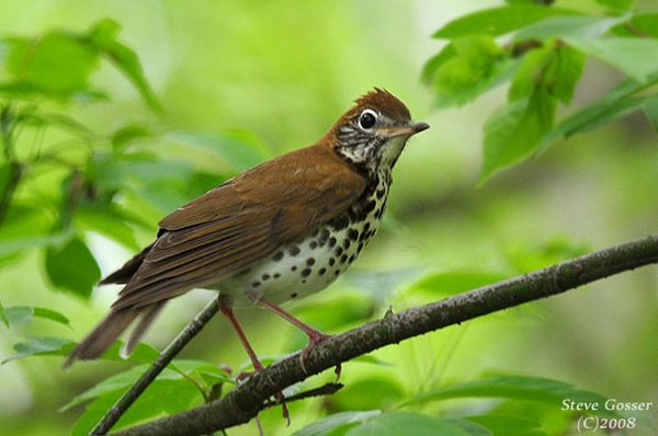 Wood Thrush (photo by Steve Gosser)