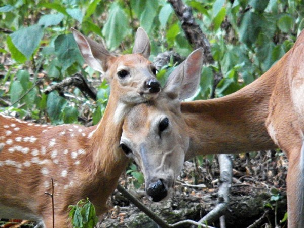 Doe and fawn (photo by Sharon Leadbitter)