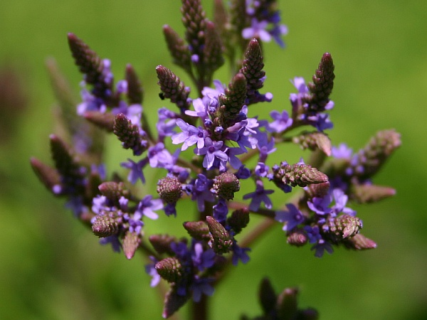 Close-up of Blue Vervain blooming (phto by Kate St. John)