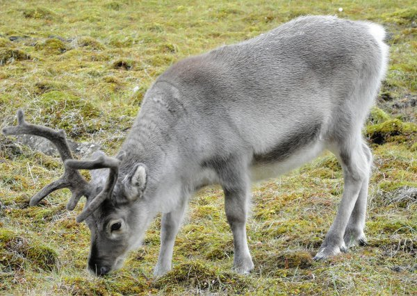 Svalbard reindeer (photo from Wikimedia Commons)