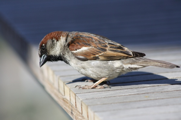 House sparrow (photo by David Lofink via Wikimedia Commons)