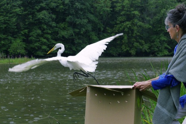 Great egret released (photo by John Beatty)