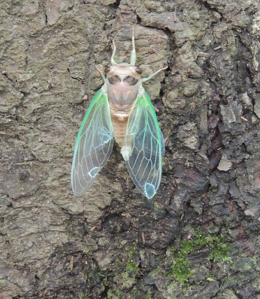 Cicada moves to the tree to finish its transformation (photo by Kim getz)