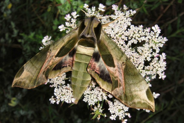Pandorus Sphinx moth (photo by Monica Miller)