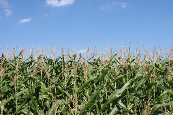 Cornfield in Penn Yan (photo by Jamie Lantzy via Wikimedia Commons)