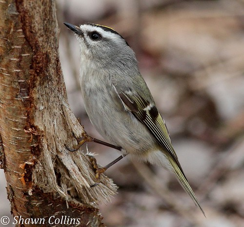 Golden-crowned kinglet (photo by Shawn Collins)
