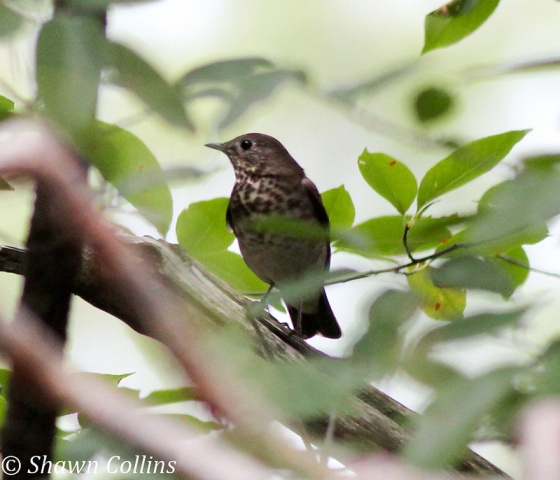 Gray-cheeked thrush (photo by Shawn Collins)