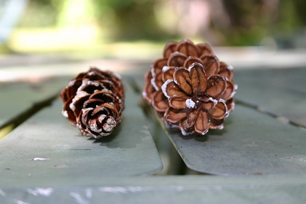 Wet and dry pine cones, head on (photo by Kate St. John)