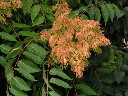 Ailanthus leaves and seeds (photo from Wikimedia Commons)