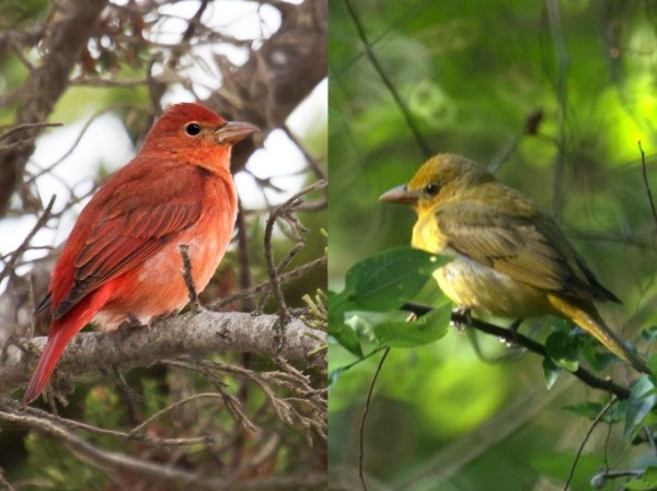 Summer tanagers, male and female (photos from Wikimedia Commons)
