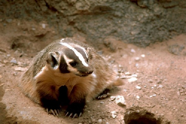 Badger (photo from Wikimedia Commons)