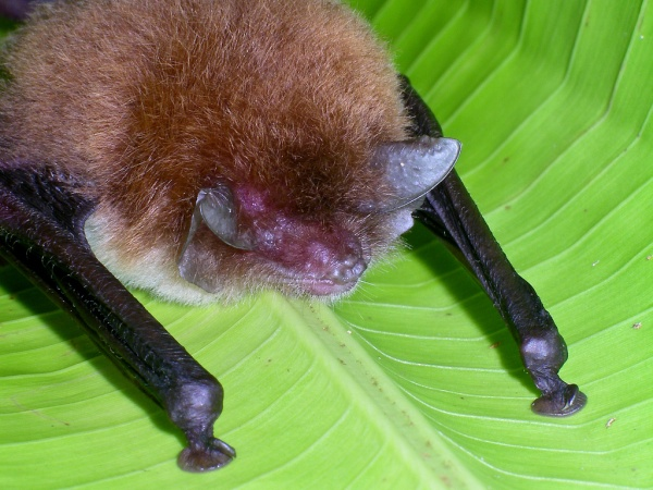 Spix's disk-winged bat (photo by Alan Wolf via Creative Commons license)