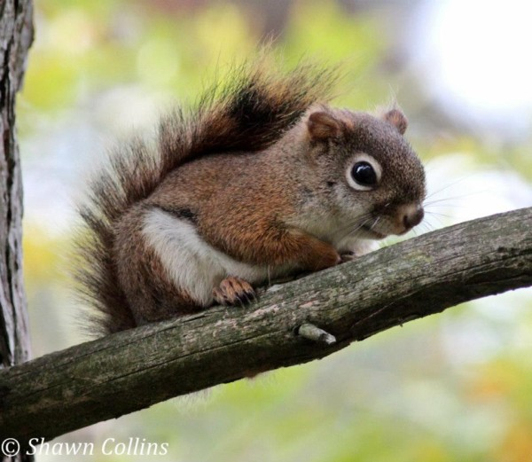 Red squirrel (photo by Shawn Collins)