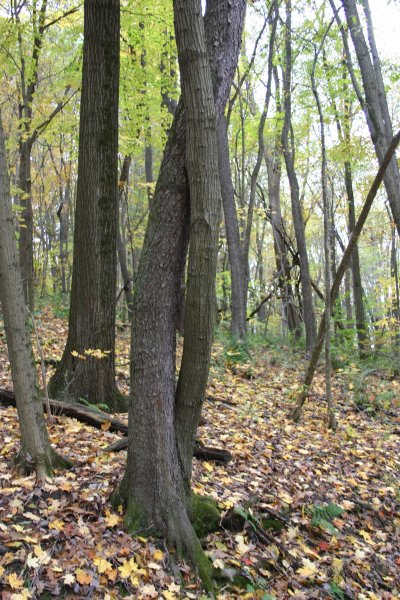 Black cherry and red oak twist around each other, Moraine State Park, Oct 2013 (photo by Kate St. John)