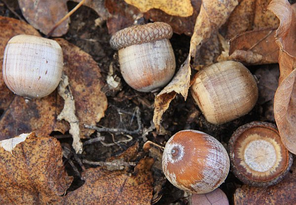 Acorns of northern red oak (photo from Wikimedia Commons)