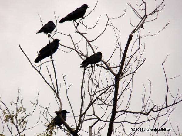 American crows gather in a tree in Pittsburgh (photo by Sharon Leadbitter)