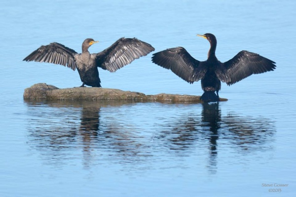 DCCO_drying_sgosserDouble-crested cormorants drying their wings (photo by Steve Gosser)