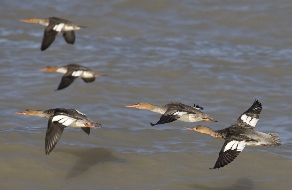 Red-breasted mergansers in flight (photo by LGooch on Flickr, Creative Commons License)
