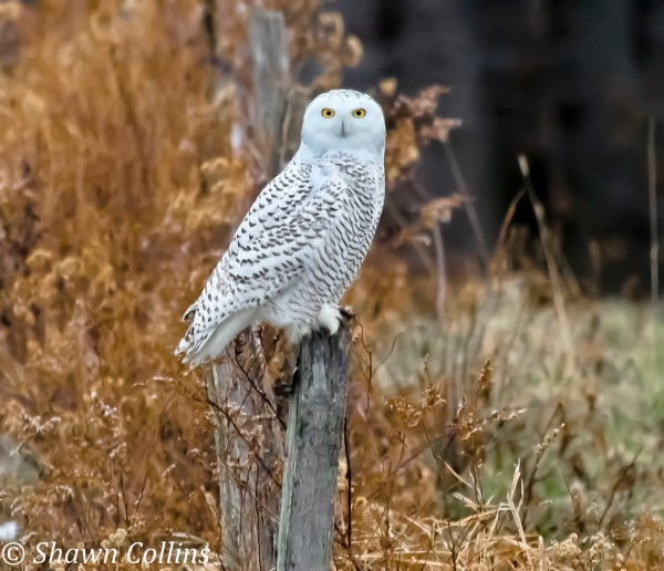 Snowy owl in Wattsburg, PA (photo by Shawn Collins)