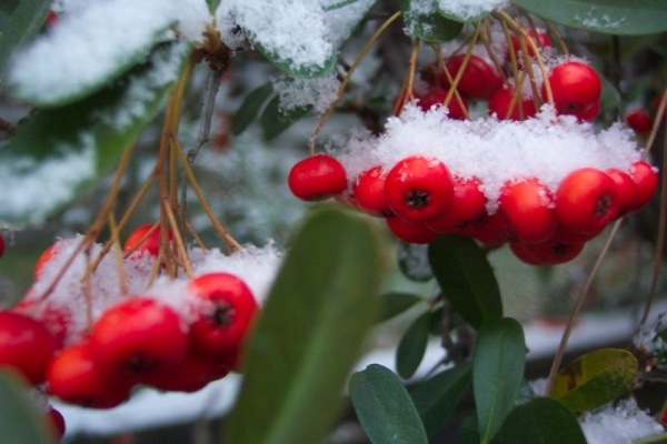 Snow on Pyracantha (photo by Bob Muller, Creative Commons license via Flickr)